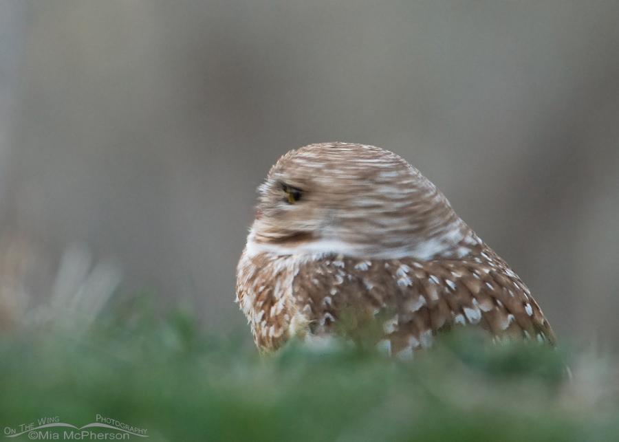 Adult Burrowing Owl head spin blur