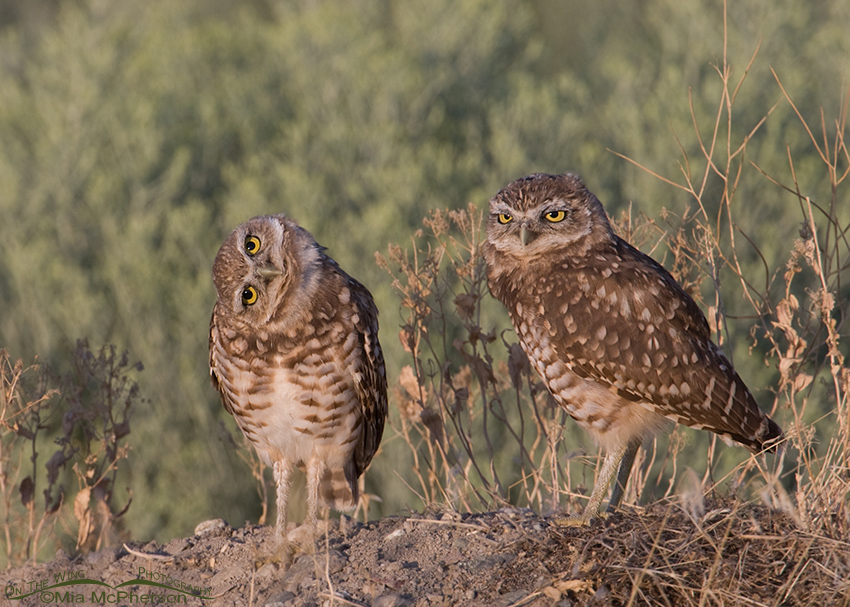 A pair of juvenile Burrowing Owls