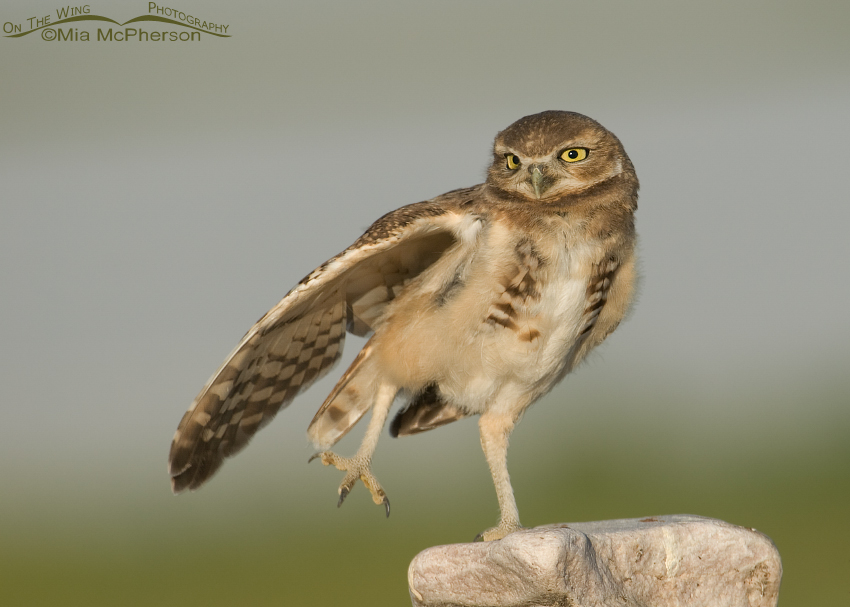 Juvenile Burrowing Owl stretching