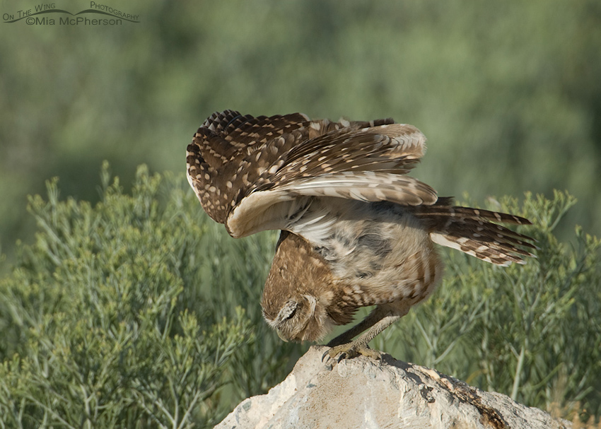 A fun juvenile Burrowing Owl wing lift