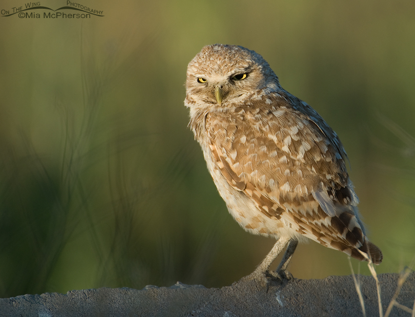 Adult western Burrowing Owl in morning light