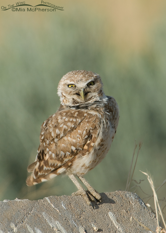 Adult western Burrowing Owl with funny expression