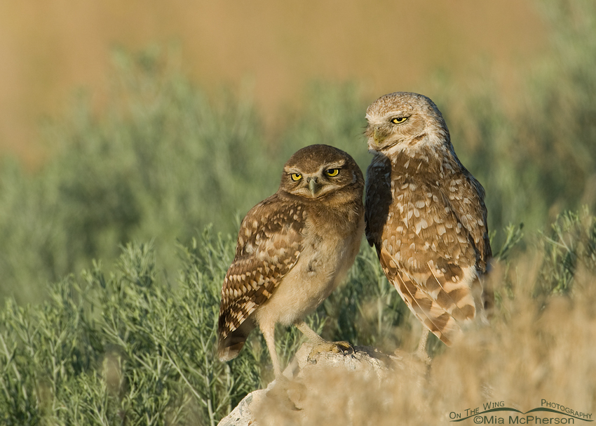 Burrowing Owl adult and juvenile comparison