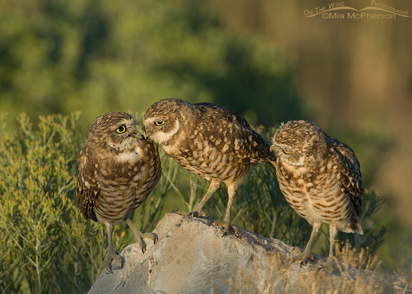 Three young Burrowing Owls
