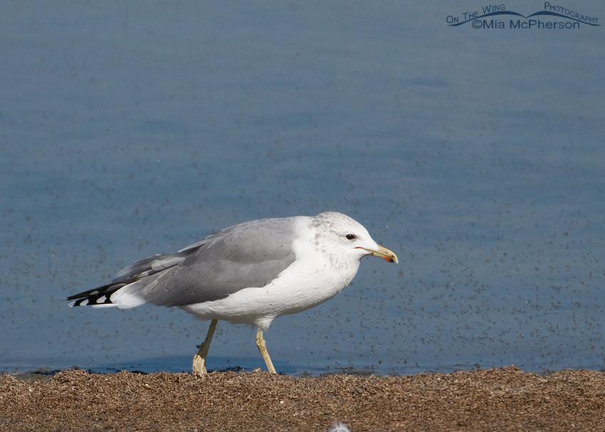 California Gull feeding on Brine Flies 1