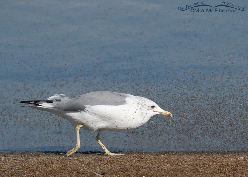 California Gull feeding on Brine Flies 2