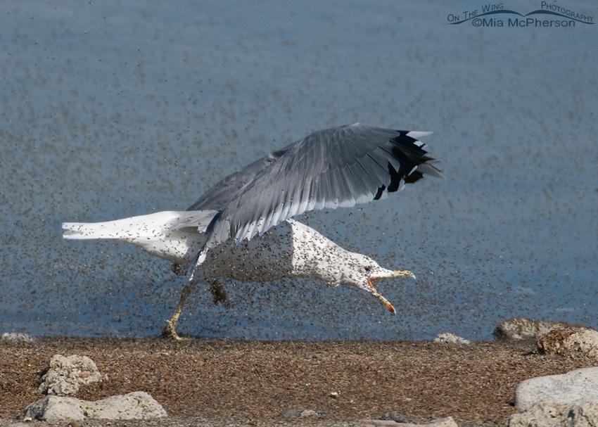 California Gull feeding on Brine Flies 4