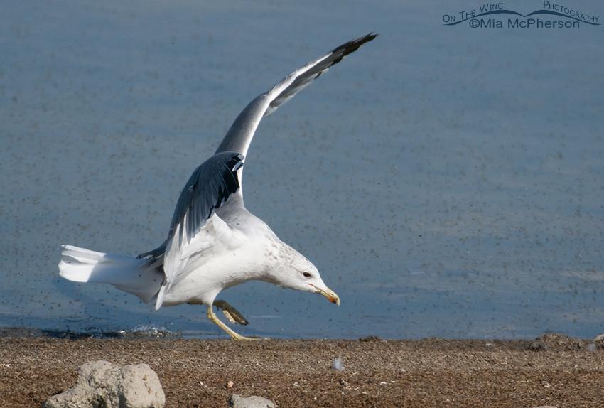 California Gull feeding on Brine Flies 6