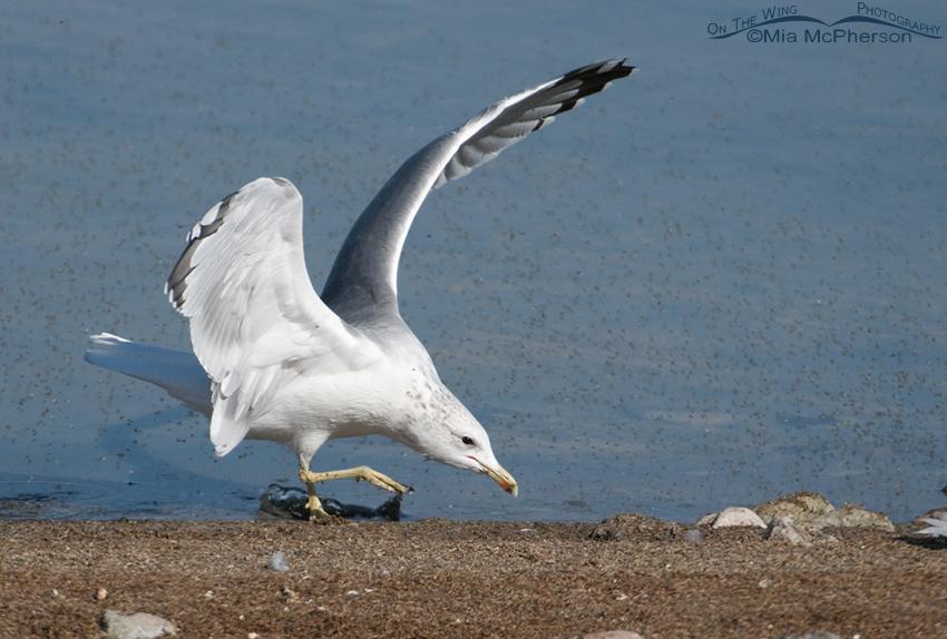 California Gull feeding on Brine Flies 7