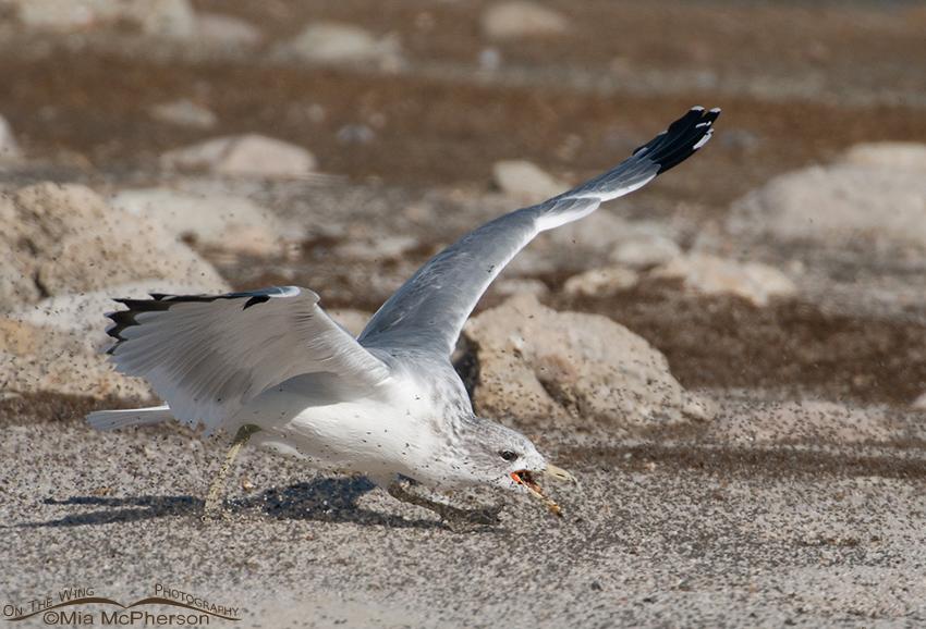 California Gull feeding on Brine Flies 9