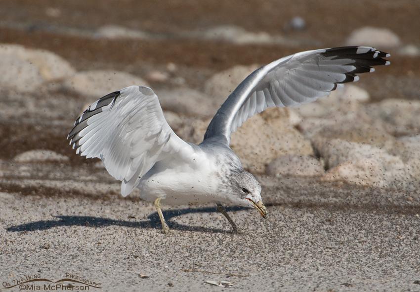 California Gull feeding on Brine Flies 10