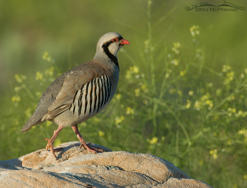 Chukar on a rock with Black Mustard in the background