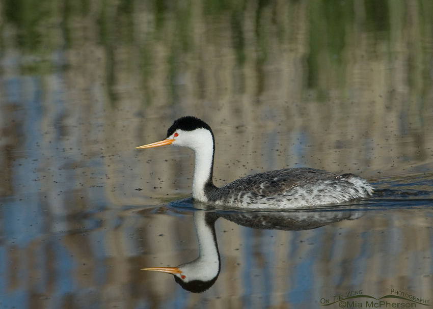Clark's Grebe with midges floating on the water