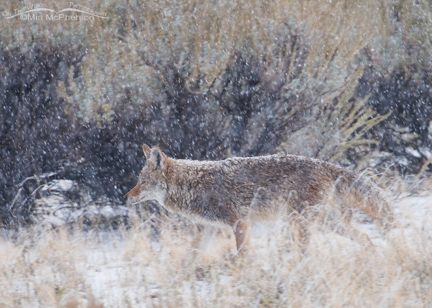 Coyote in blowing snow