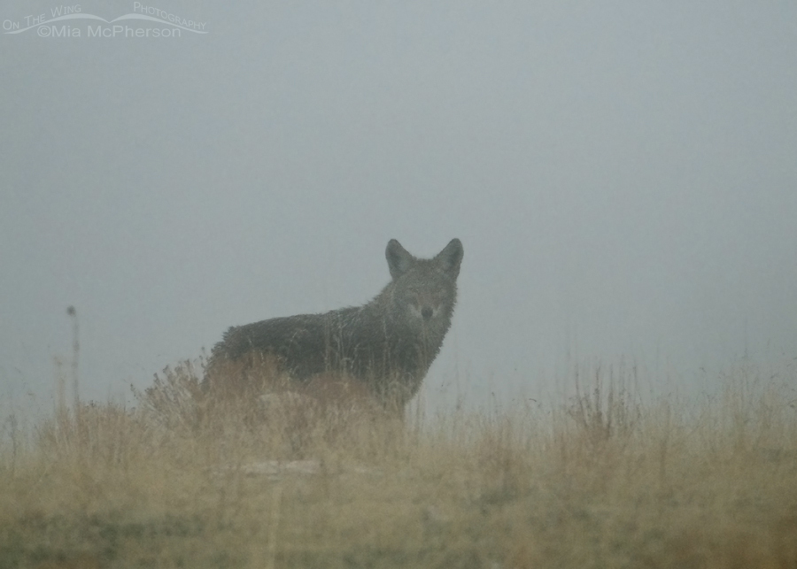 Ghostly Coyote