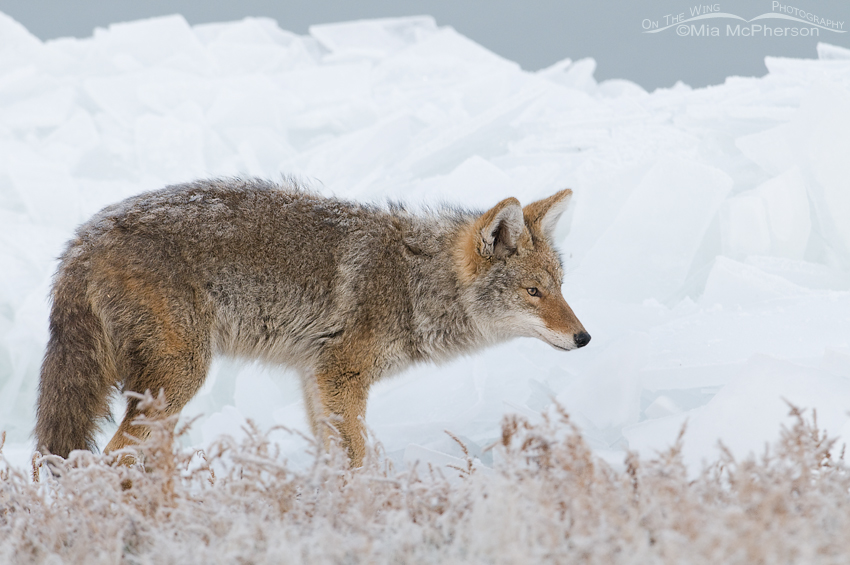 Coyote hunting the shoreline of the Great Salt Lake
