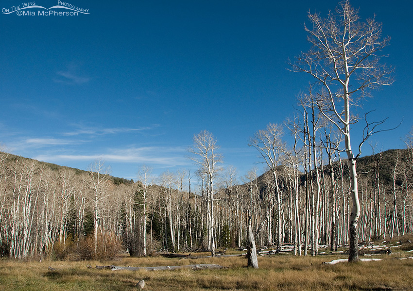 Bare Aspen view at the Shoshone camping area