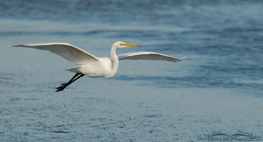 Landing Great Egret