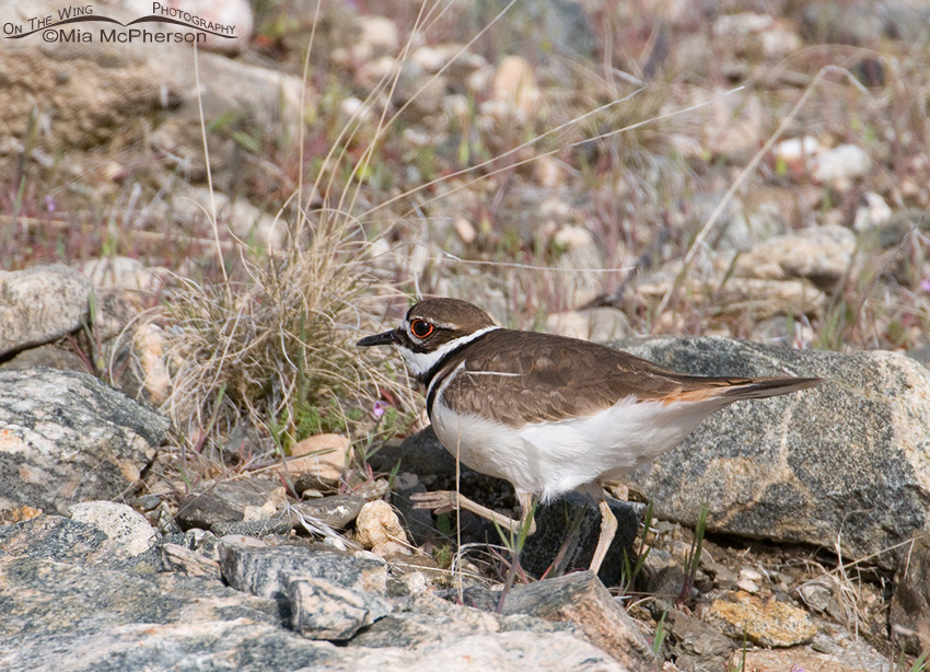 Killdeer going up the slope