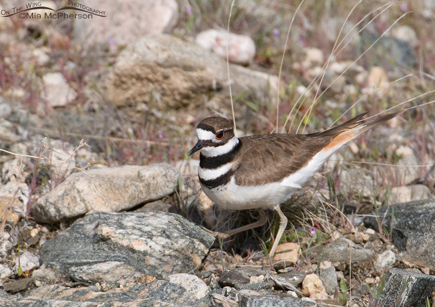Killdeer on scrape