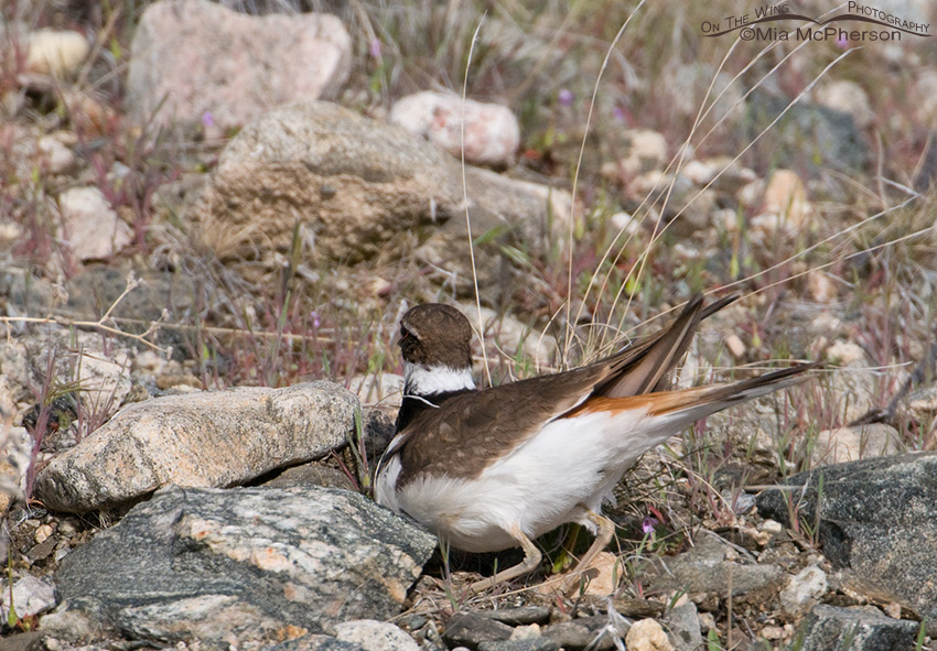 Killdeer scraping