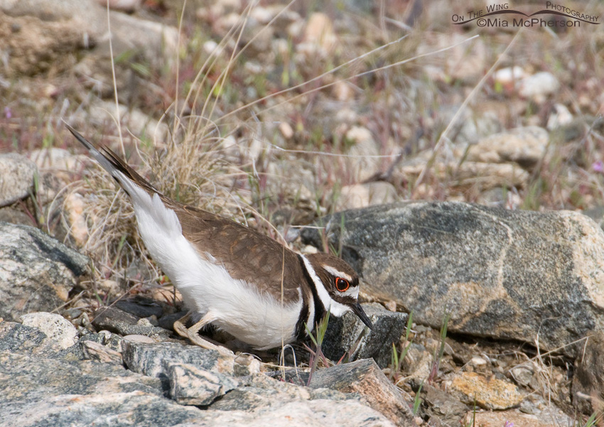 Killdeer selecting scrape