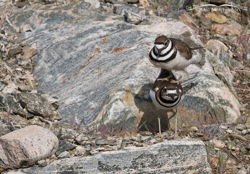 Male Killdeer mounting the female