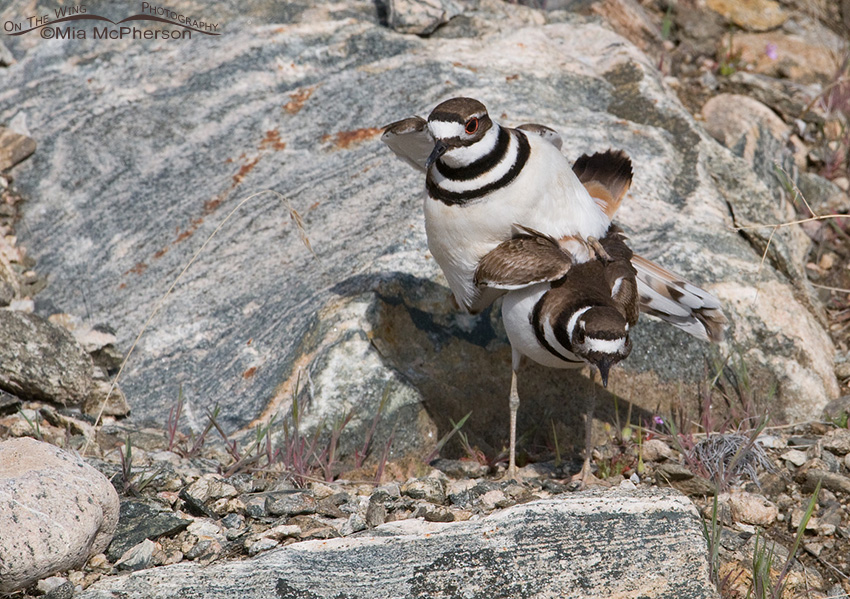 Male Killdeer about to dismount