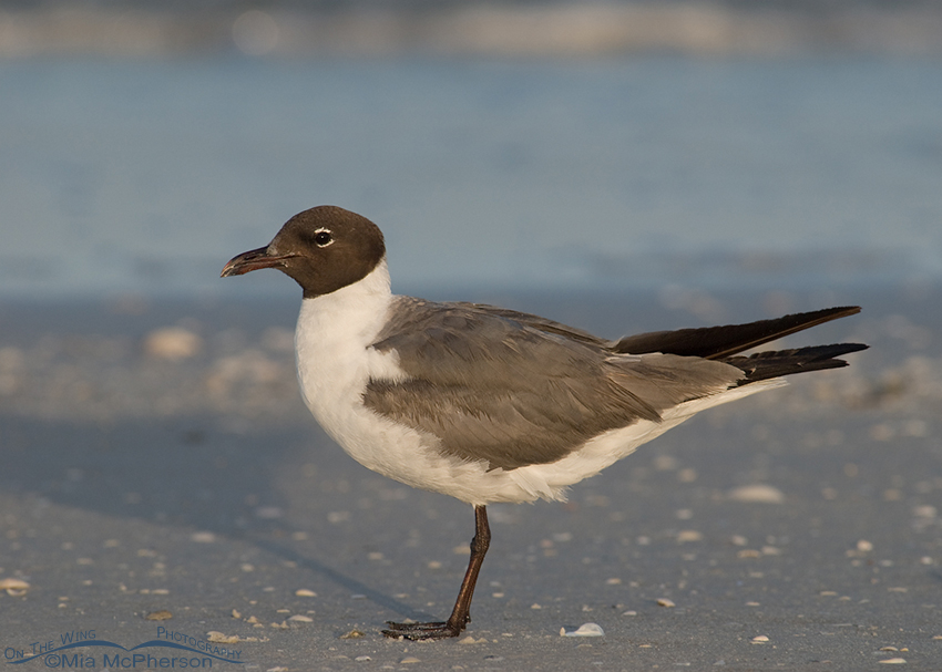 Laughing Gull - White balance correction