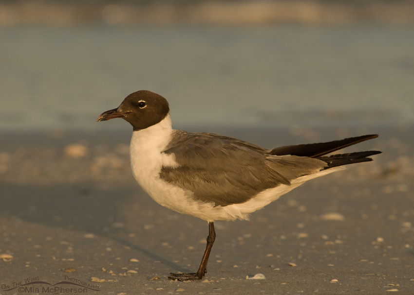 Laughing Gull - Manual White balance mistake