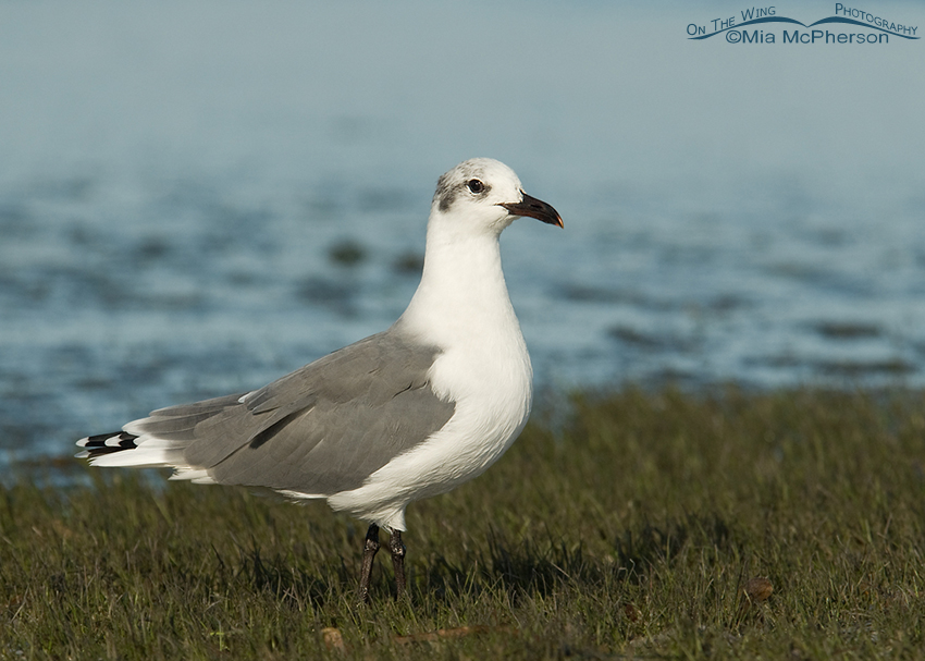 Nonbreeding Laughing Gull on exposed sea grass bed