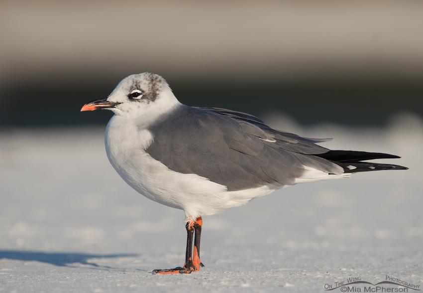 Pinto Bean Laughing Gull