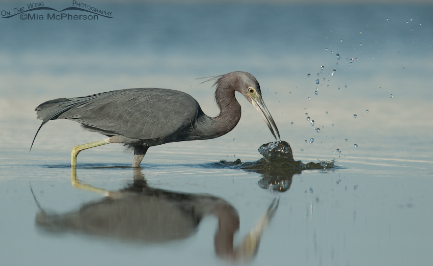 Little Blue Heron misses the prey