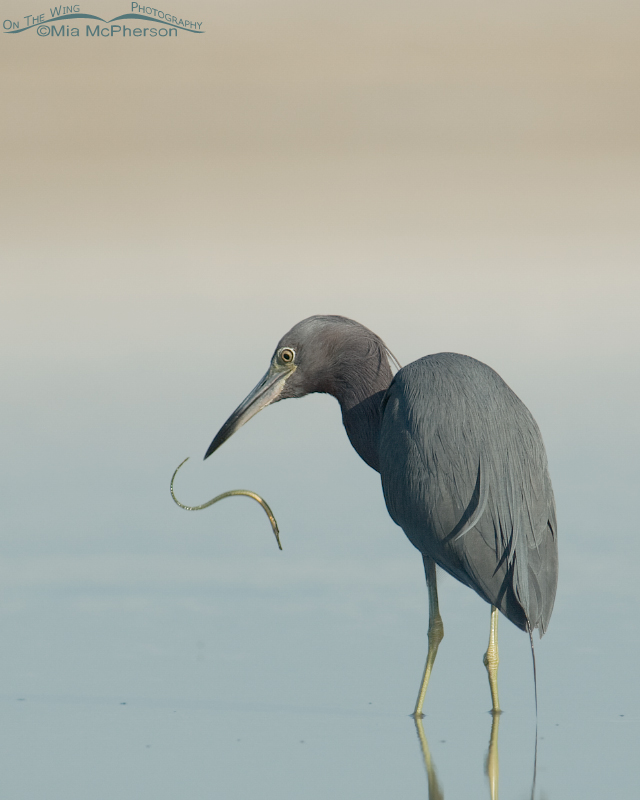 Little Blue Heron with Pipefish in mid air