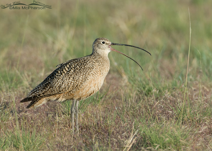 Long-billed Curlew male calling