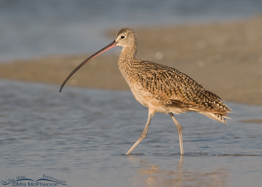 Long-billed Curlew walking the shore of the Gulf of Mexico