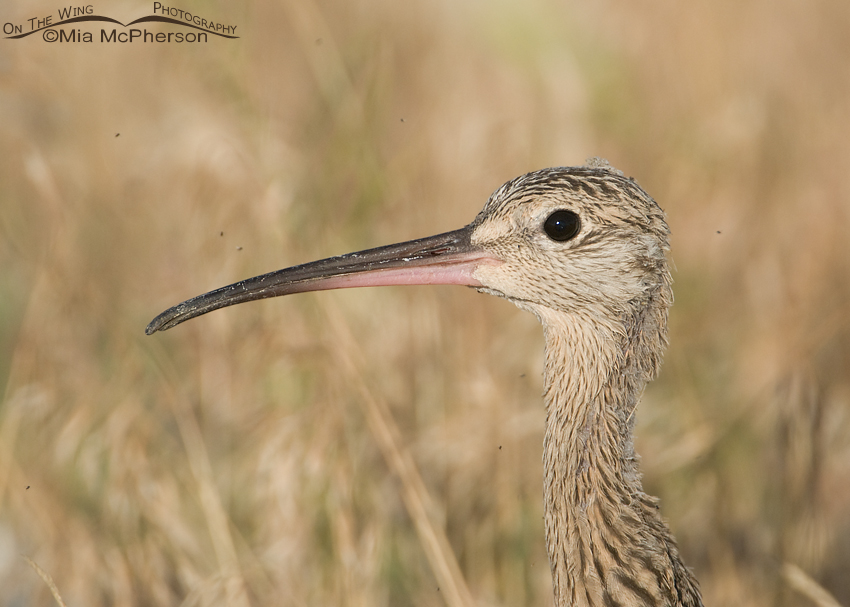 Close up of a Long-billed Curlew juvenile