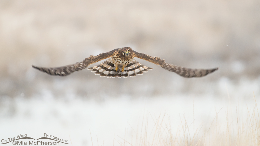 Northern Harrier hovering over prey