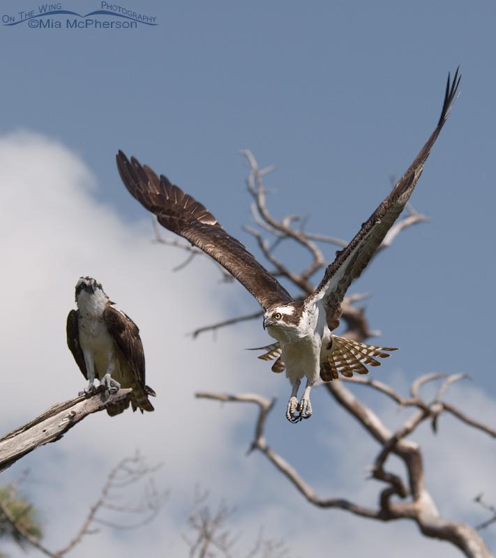 Male Osprey flying by a female