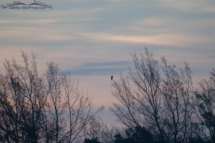 Osprey in trees before sunrise