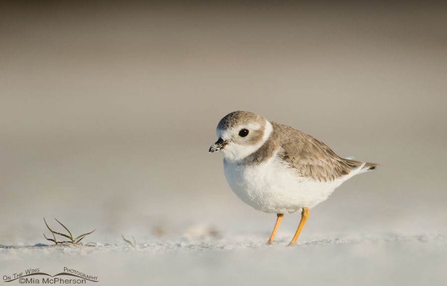 Piping Plover on a sandy beach
