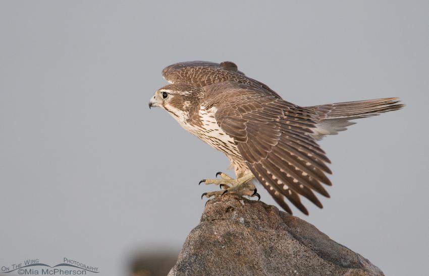 First year Prairie Falcon