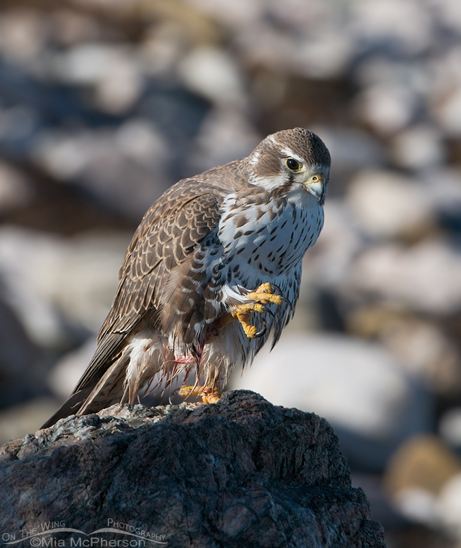 Adult Prairie Falcon after a meal