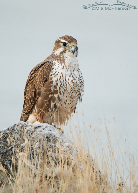 Portrait of a juvenile Prairie Falcon in low light