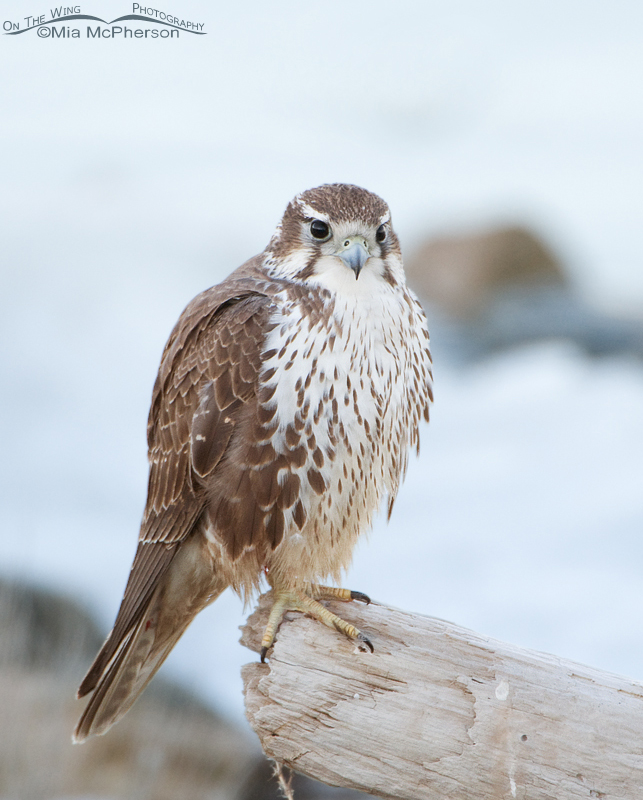 Prairie Falcon with the frozen Great Salt Lake in the background