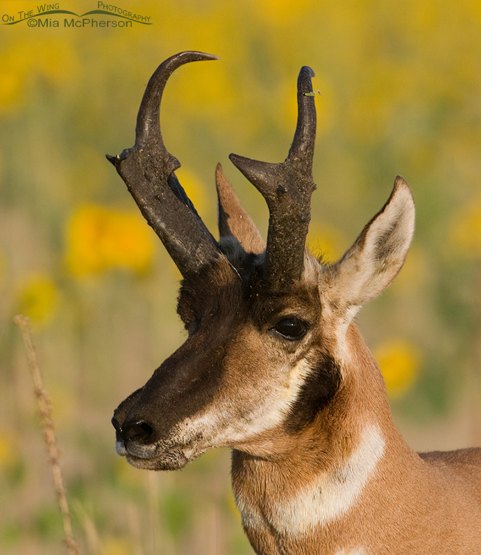 Adult Pronghorn Buck