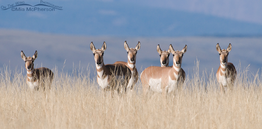 Pronghorns of Antelope Flats, Flaming Gorge National Recreation Area