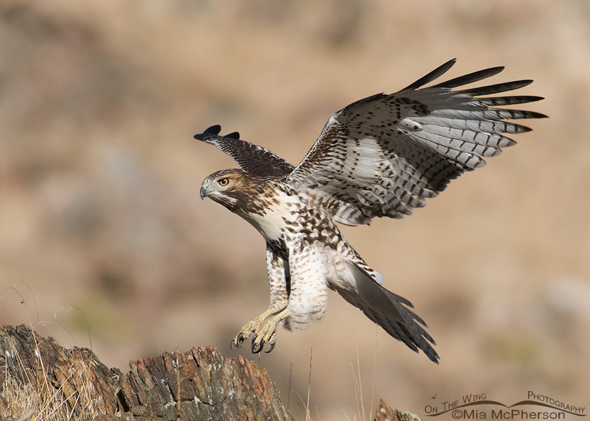 Juvenile Red-tailed Hawk coming in for a landing