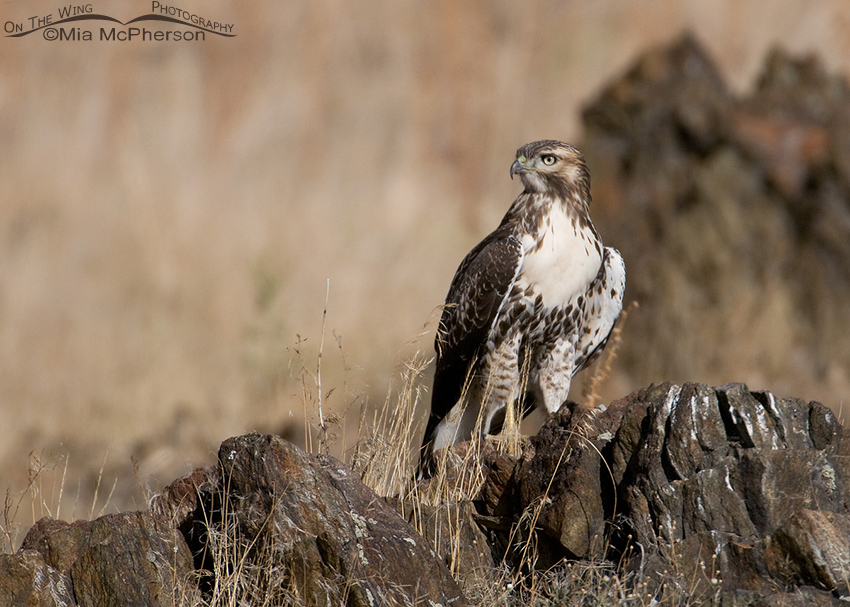 Red-tailed Hawk juvenile perched on dark rocks