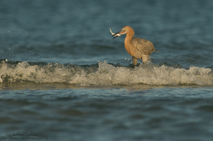 Reddish Egret fishing in the surf